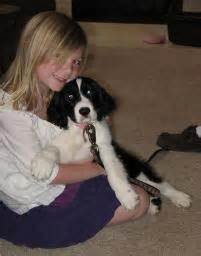 northgate english springer spaniel breeder  virginia