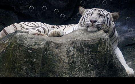 tigre fondo animado  android