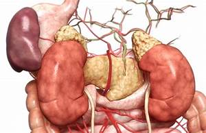 Refuting Vestigial Organs as Proof of Evolution | Across ...  Vestigial