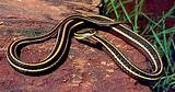 Yellow black striped snake florida