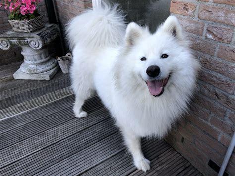 Wonderful Samoyed Bianca Needs New Home Sled Dogs Rescue