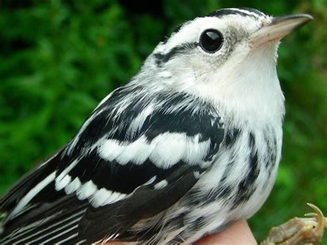 pics for gt black and white striped bird