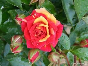 mini roses miniature roses for pinterest