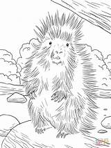 Porcupine Coloring Sheets Printable Animal Template Pages sketch template