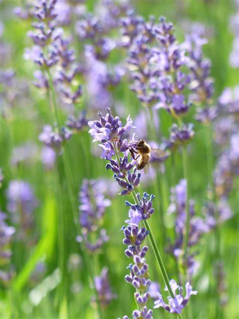 Gambar : menanam padang rumput ungu penyerbukan herba