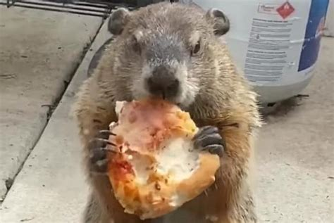 groundhog enjoys  slice  pizza