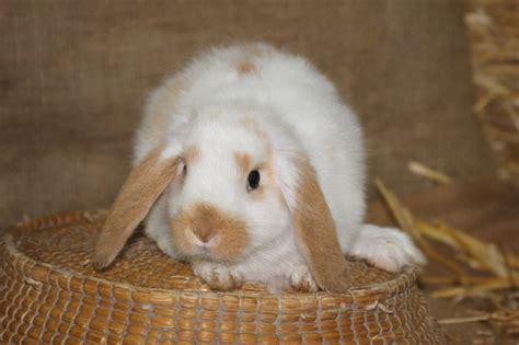 Cosa Mettere Nella Gabbia Coniglio by Allevamento Coniglio Nano Riflessioni Prima Dell