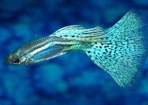 gambar ikan guppy tercantik