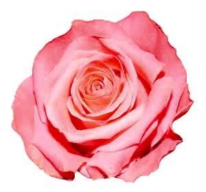 roses bouquet png image pngpix