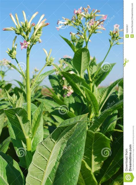 tobacco plant  flower royalty  stock photography