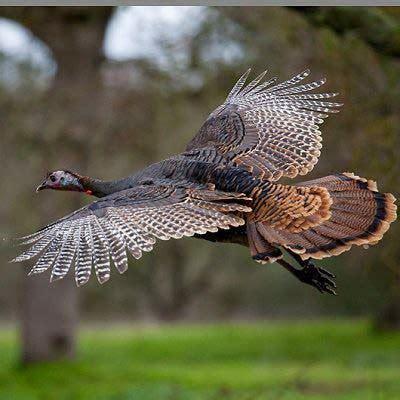 maynard life outdoors and hidden history of maynard wild turkeys in massachusetts