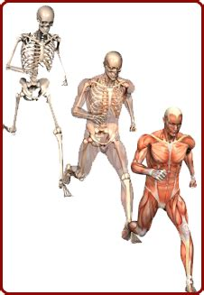 Choose from 500 different sets of flashcards about muscles and bones human anatomy on quizlet. Better Living…Healthy You