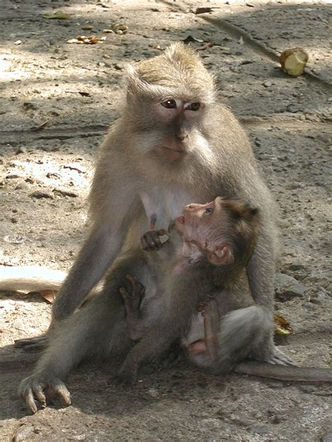macaque wiktionary