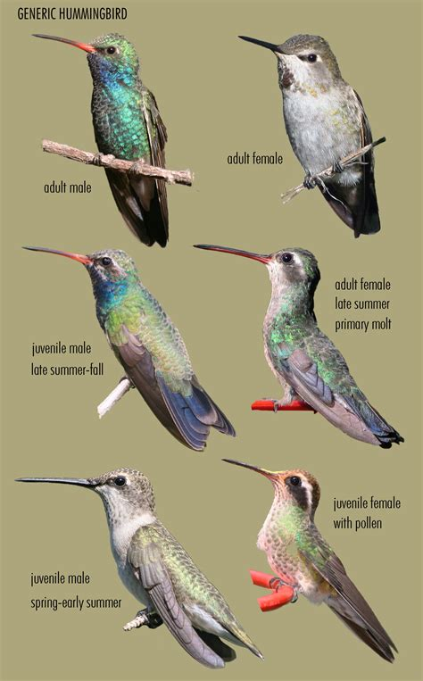 hummingbirds sheri  williamson