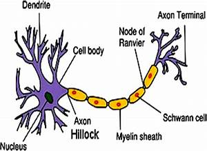 Evolution Of Nervous System Youtube Lecture Handouts