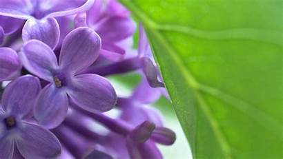Lilac Wallpapers Backgrounds Wallsdesk