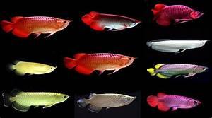 Arowana Fish | FishandAqua