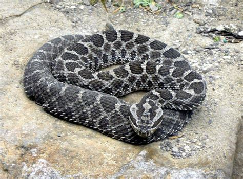 Snakes are out and about, looking for a warm spot - News ...