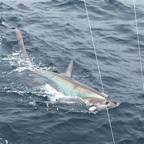 shark fishing thresher charters sharks monster miami