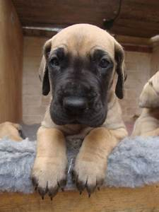 Fawn Great Dane Puppy Face … | Pinteres…