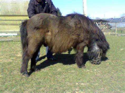 bilder von pferden mit dem equinen cushing syndrom ecs