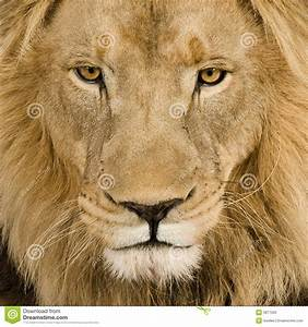 Close-up On A Lion's Head (4 And A Half Years) - P Stock ...