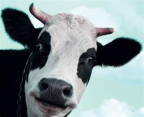 la cuisine de bertrand vache à lait dix mythes de l industrie laitière le lait