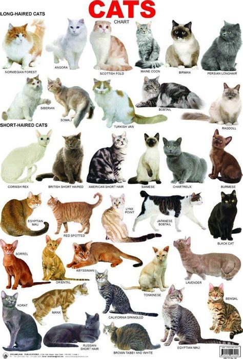Cat breeds: information characteristics and behavior
