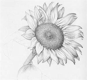 Sunflower Pencil Drawings   www.pixshark.com - Images ...