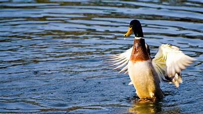 Duck Wings Spread Wallpapers Birds