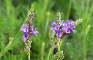Pflege Von Lavendel : lavandula canariensis kanarischer lavendel pflanzenreich ~ Lizthompson.info Haus und Dekorationen