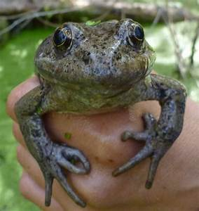 Reintroduced Frogs Are Staying Alive In The Santa Monica