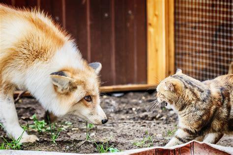 Cat vs fox