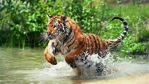 Royal bengal tiger attack in the jungle - YouTube