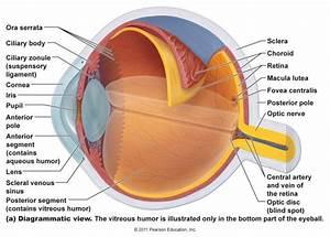 Understanding The Eye  Anatomy