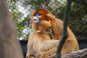 Top Golden Snub Nosed Monkey Facts Fun Facts You Need