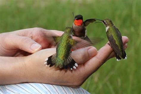 relationships with other animals colibri mvc