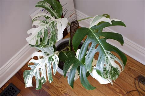 trade albo variegated monstera cutting listing