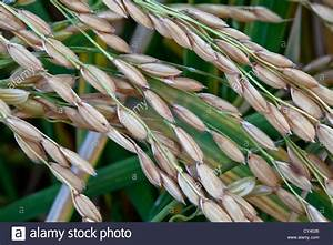 Mature  U0026 39 Short Grain U0026 39  White Rice Growing In Field Stock Photo  Royalty Free Image  51104318