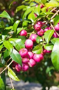 Gardens Green Market by Best Lilly Pilly Varieties Burke S Backyard