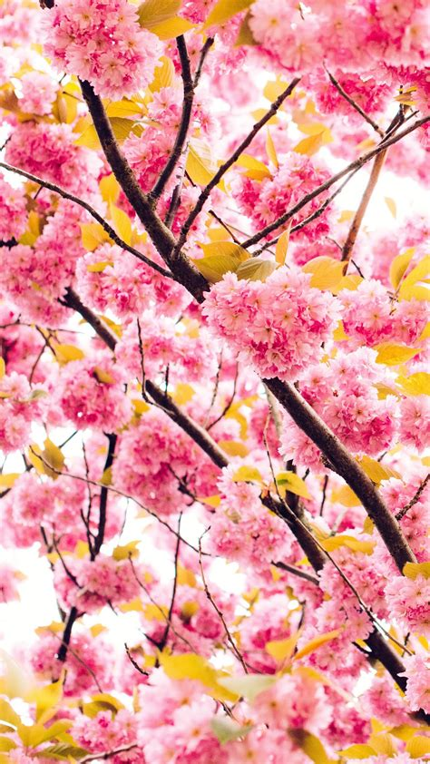 Browse millions of popular cherry blossom wallpapers and ringtones on zedge and personalize your phone to suit you. Pink cherry blossom Mobile wallpaper,flower - HD Mobile Walls