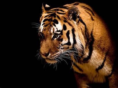 Tiger Wallpapers Animals Desktop Wild Background Lovable