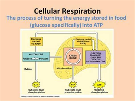aerobic respiration the krebs cycle electron transport system ppt