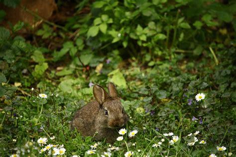 white black  brown rabbit  brown wooden fence  stock photo