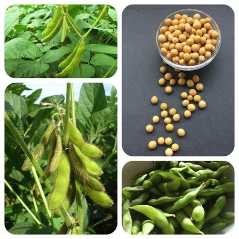 sojabohne glycine max nutzpflanze nahrungsmittel edamame