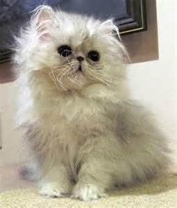Silver Persian Kittens