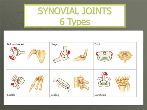 The Joints Of The Skeleton System