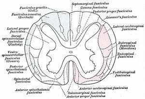 Dorsal Spinocerebellar Tract