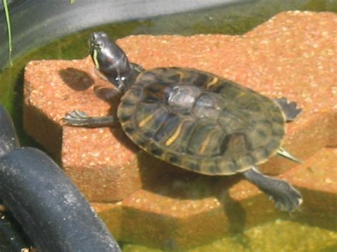 tortue d eau page 2 au jardin forum de jardinage