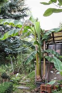 riesen bananen pflanze mit blutenstand im garten majas With feuerstelle garten mit banane zimmerpflanze früchte